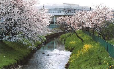 十文橋西側の桜(平成4年ごろ_古隅田川土地改良区記念誌)