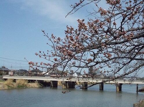 古利根川 桜(つぼみ)と埼葛橋