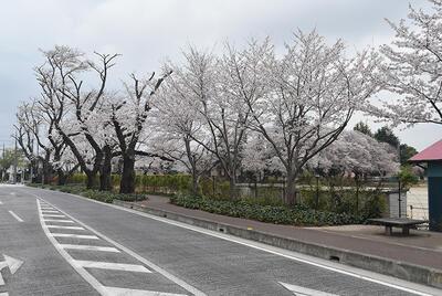 桜川小学校の桜並木