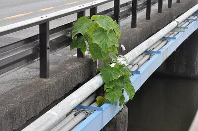 写真:藤塚橋のキリ