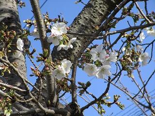 学校の桜もどんどん開いています