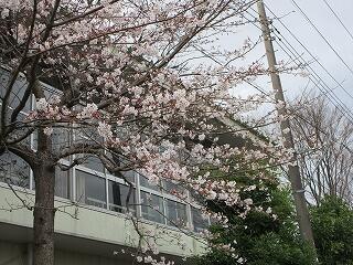 体育館の脇の桜の木