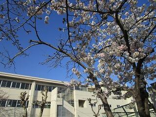 桜もどんどん咲きます