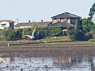 田んぼに水が張られ、今年も白鷺が戻ってきました