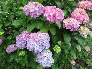 学校の敷地内に咲く紫陽花