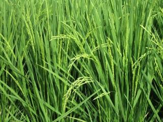 地域の田んぼの稲には稲穂が付いています