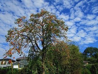 地域の柿の木には実がたくさん成っています