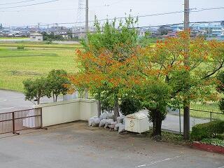 学校の木々も日に日に色を秋色に変えてゆきます