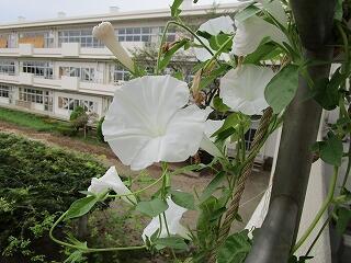 2階まで伸びた純白の朝顔