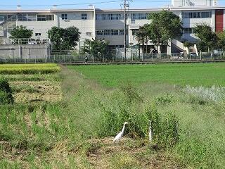 学校周辺の田んぼの稲刈りも半分くらい終わりました